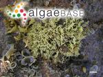 Ahnfeltiopsis flabelliformis (Harvey) Masuda