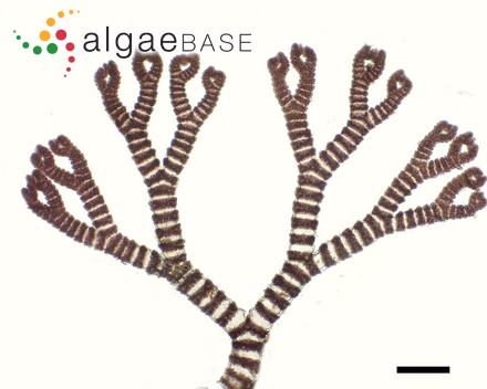 Ectocarpus fasciculatus var. macrosporus Askenasy