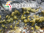 Feldmannia breviarticulata (J.Agardh) Pham-Hoàng Hô
