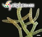 Champia parvula (C.Agardh) Harvey