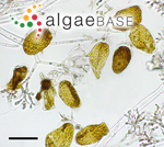 Blastophysa rhizopus Reinke