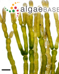 Chlorodesmis caespitosa J.Agardh