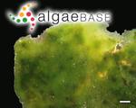 Palmophyllum crassum (Naccari) Rabenhorst