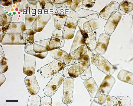 Giffordia thyrsoidea (Børgesen) A.K.Islam