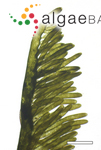 Bryopsis pennata J.V.Lamouroux