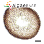 Coelothrix irregularis (Harvey) Børgesen