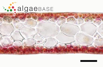 Rhizoclonium riparium f. casparyi (Harvey) Holmes & Batters