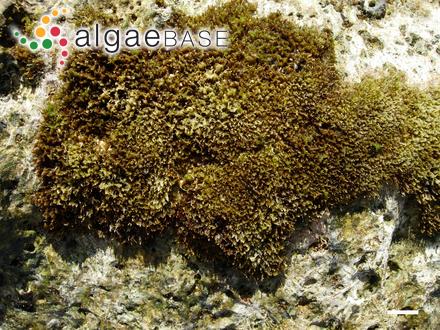 Acrosiphonia duriuscula (Ruprecht) Yendo