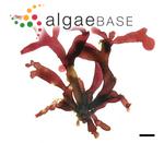 Gracilaria dawsonii Hoyle