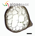 Gracilaria parvispora I.A.Abbott