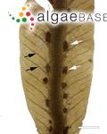Dictyopteris plagiogramma (Montagne) Vickers