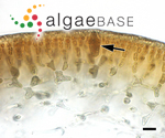 Grateloupia phuquocensis Tanaka & Pham-Hoàng Hô