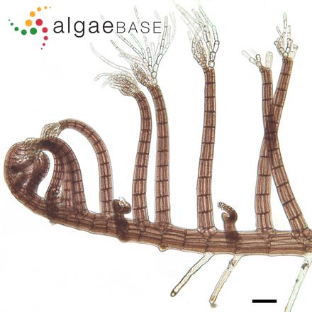 Membranoptera tenuis Kylin