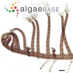 Herposiphonia secunda (C.Agardh) Ambronn