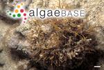 Gelidiella acerosa (Forsskål) Feldmann & Hamel