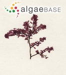 Gastroclonium ovatum (Hudson) Papenfuss