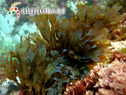 Merismopedia glauca (Ehrenberg) Kützing