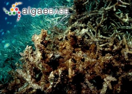 Spirocladia hodgsoniae I.A.Abbott