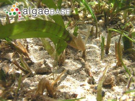 Caulerpa macrophysa (Sonder ex Kützing) G.Murray