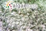 Halodule pinifolia (Miki) Hartog