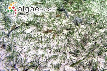 Zostera marina Linnaeus