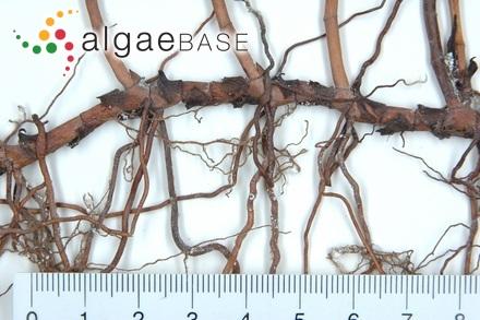 Thalassia testudinum K.D.Koenig