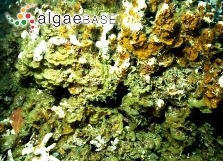 Spongites absimilis (Foslie & M.Howe) Afonso-Carrillo