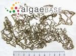 Encoelium clathratum C.Agardh