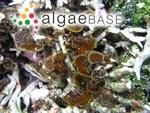 Lobophora variegata (J.V.Lamouroux) Womersley ex E.C.Oliveira