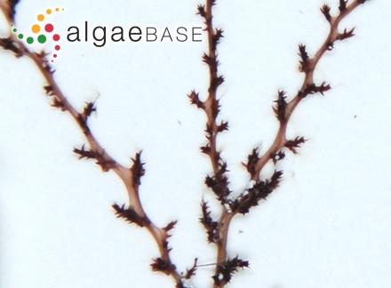 Lithothamnion fruticulosum f. corymbiforme Foslie