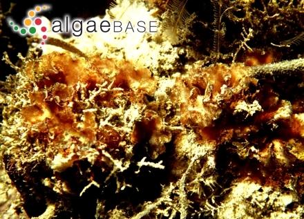 Lithothamnion corallioides f. norvegicum (Areschoug) Foslie
