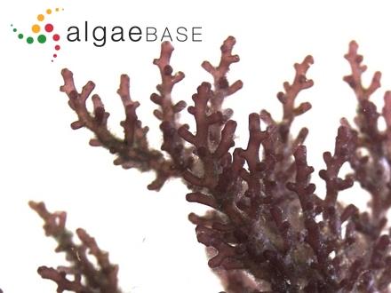 Lithothamnion glaciale f. torosum Foslie