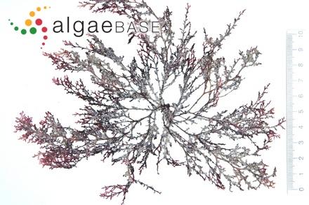 Lithothamnion investiens f. torosum (Foslie) Foslie