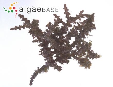 Lithothamnion polymorphum f. intermedium Foslie