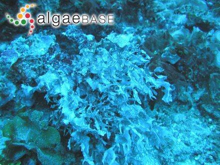 Phymatolithon polymorphum f. tuberculatum (Foslie) Foslie