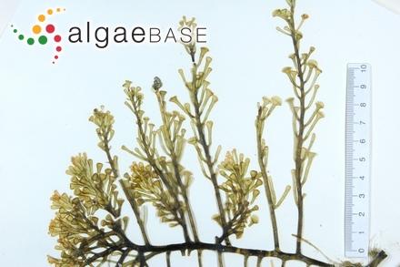 Calosiphonia neapolitana Berthold