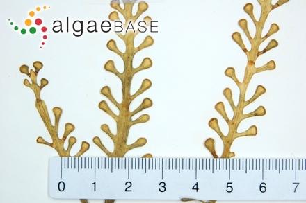 Mesogloia coccinea C.Agardh