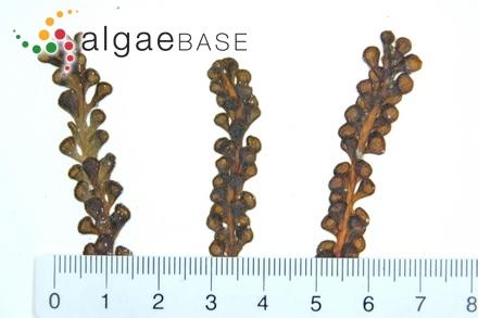 Dumontia filiformis f. crispata (Greville) Hauck