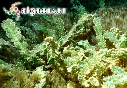 Gastridium filiforme var. incrassatum (O.F.Müller) Lyngbye