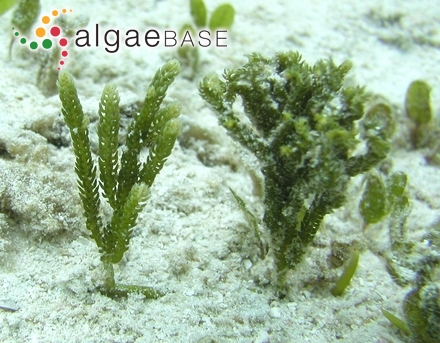 Furcellaria fastigiata f. tenuior Areschoug