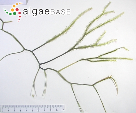 Chondrus crispus f. aequalis (Goodenough & Woodward) Rosenvinge