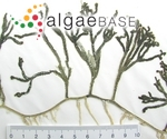 Caulerpa cupressoides (Vahl) C.Agardh