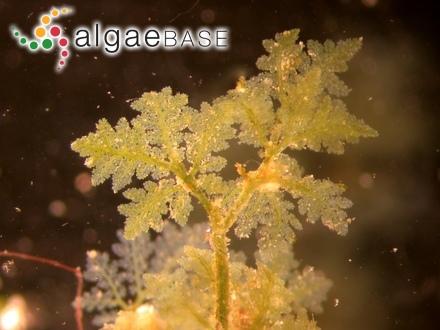 Chondrus crispus f. aegagropila Rosenvinge