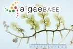 Caulerpa racemosa var. macrodisca (Decaisne) Weber Bosse