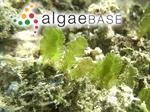 Caulerpa sertularioides (S.G.Gmelin) M.Howe