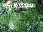 Caulerpa verticillata J.Agardh