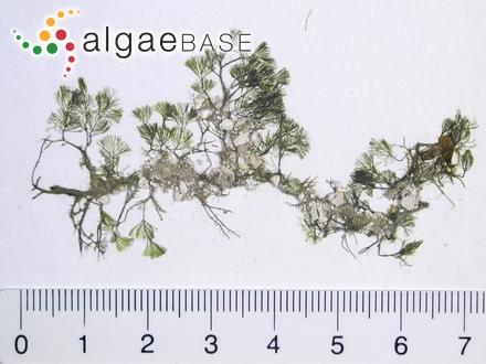 Rhodymenia palmata f. marginifera (Turner) Batters