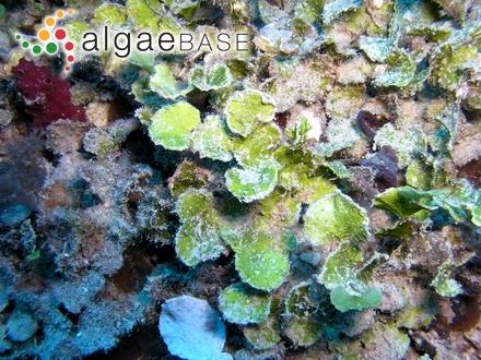 Ceramium rubrum f. irregularis-subcorticatum Petersen