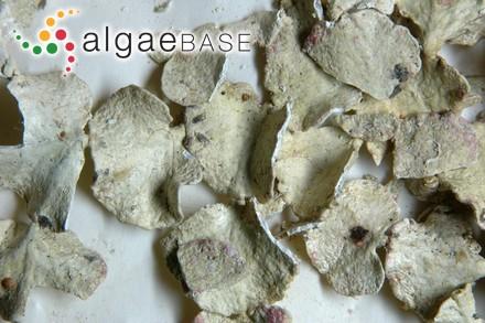 Ceramium rubrum f. subtypicum Petersen