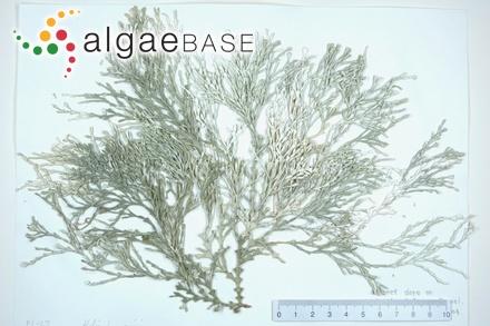 Ceramium diaphanum f. strictum (Harvey) Foslie
